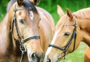 Aiken Show Horses